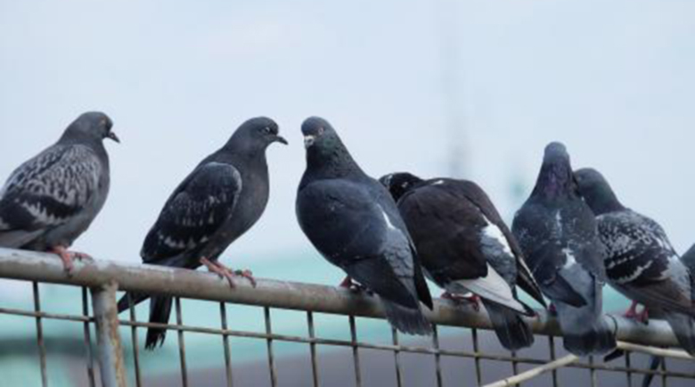 ЦРУ: Шпионирахме Съветския съюз с гълъби