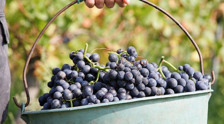 Осъдиха 80-годишна баба за кражба на 1,5 т грозде