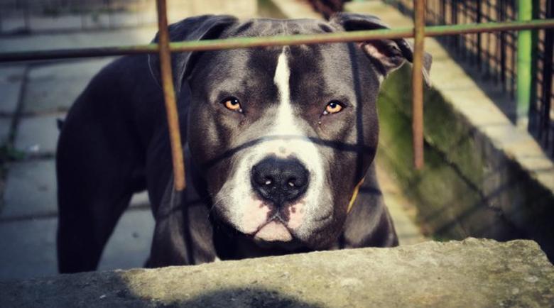 26-годишен организира боеве с кучета, спипаха го