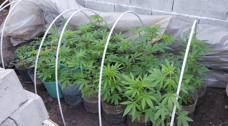Разкриха оранжерия за марихуана в Пазарджик