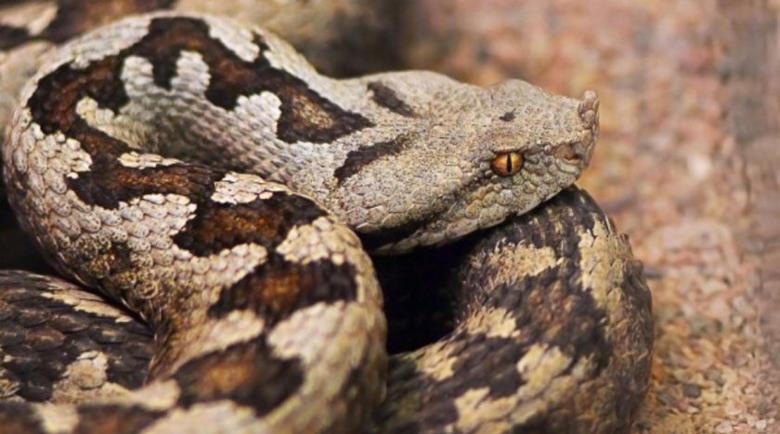 Мъж използва две отровни змии, за да убие жена си