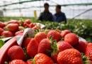 Трима избягаха от блокирана заради COVID-19 английска ферма с българи