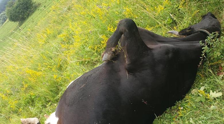 Изрод с камуфлажни дрехи уби няколко крави в Кладница