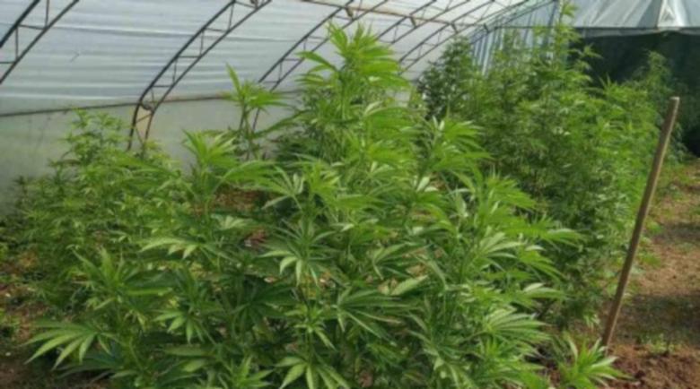 Разбиха наркооранжерия с 3-метрови стъбла канабис