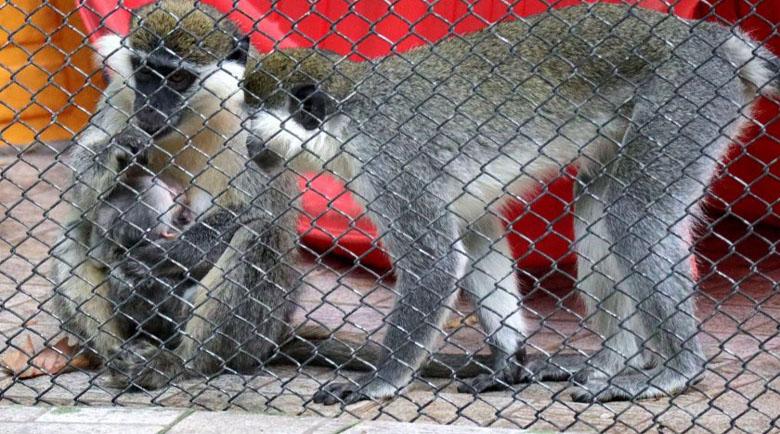 Жена едва не уби маймуна с царевични пръчици в зоопарка в София