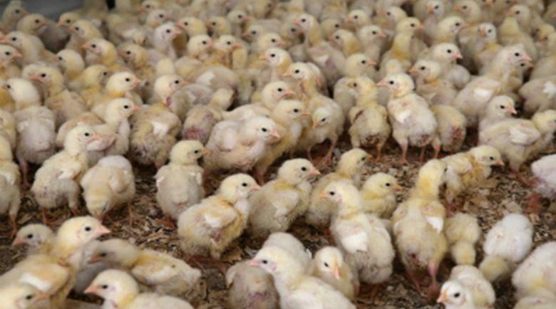 Изроди изсипаха в река край Ловеч над 200 новоизлюпени пиленца