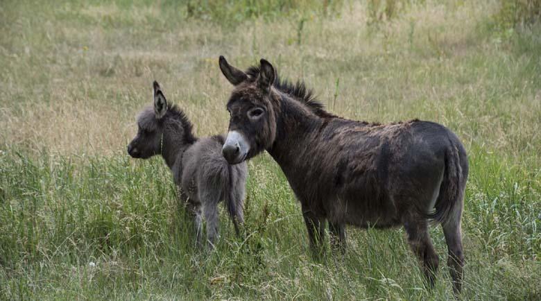 Джамбази се преквалифицираха, крадат вече магарета